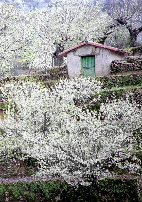El valle del jerte calienta motores para su cerezo en flor for Oficina de turismo valle del jerte