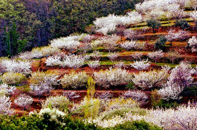 Cerezo en Flor Valle del Jerte