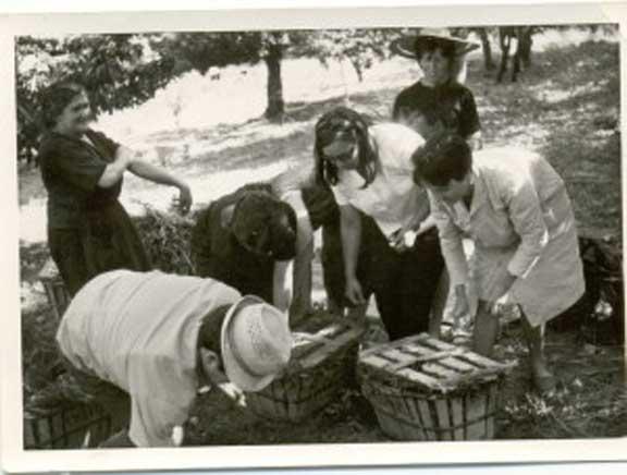 Fotos antiguas Valle del Jerte - recoleccion manual de cerezas