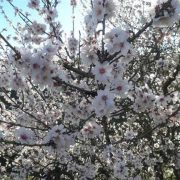 Ruta Senderismo Almendro en Flor