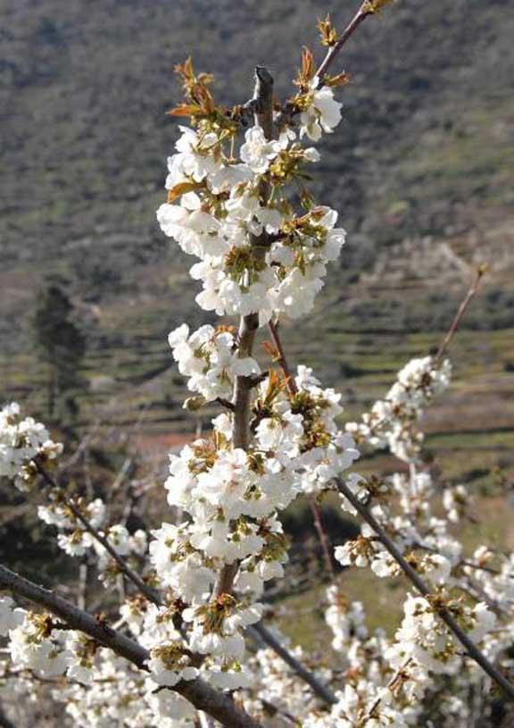 Floracion de cerezos en el Valle del Jerte