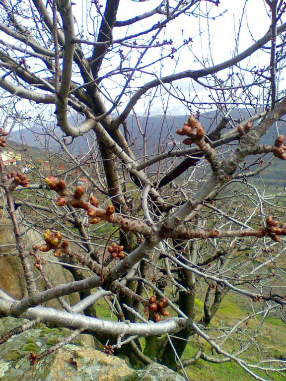 Cerezo a punto de florecer en el Valle del Jerte