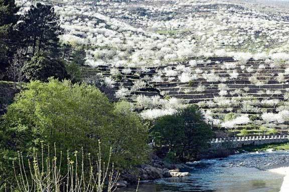 Campos de cerezo en flor del Valle del Jerte