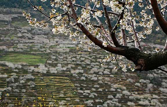 Paisaje de cerezo en flor del Valle del Jerte