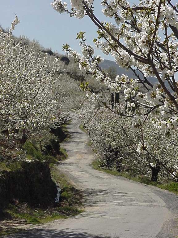 Camino de cerezo en flor del Valle del Jerte