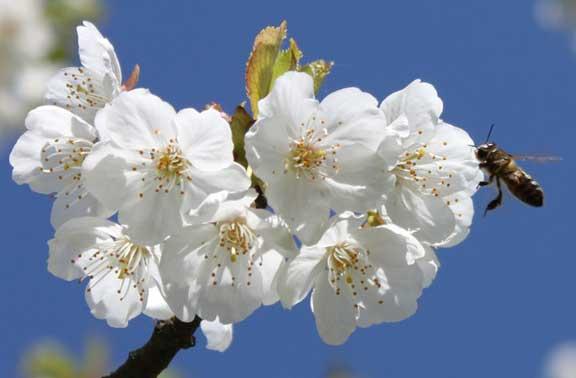 Flor del cerezo en el Valle del Jerte